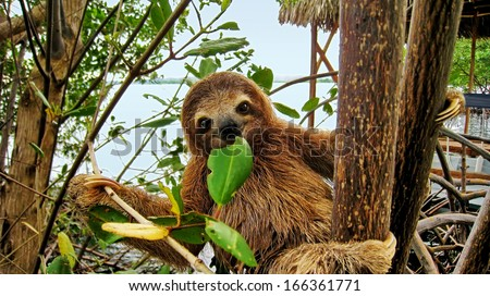 Smiling baby Brown throated Three toed sloth in the mangrove, Caribbean,  Costa Rica #166361771