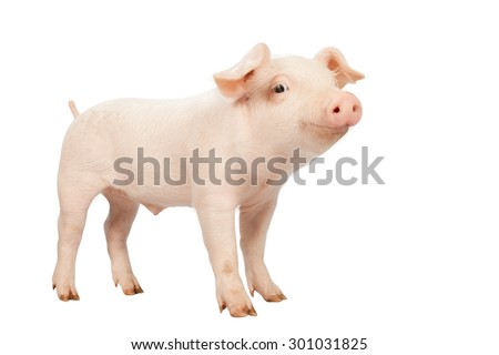 smiling baby piglet clipping path on white Isolated  background. - Shutterstock ID 301031825