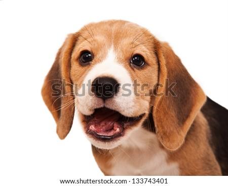 Smiling beagle puppy portrait