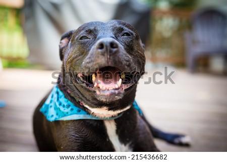 Smiling Black American PitBull wearing a blue bandanna.