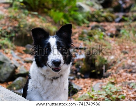 smiling border collie #741749986