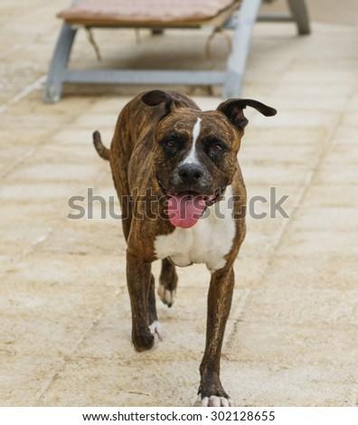 Smiling brindle dog walking around the pool deck