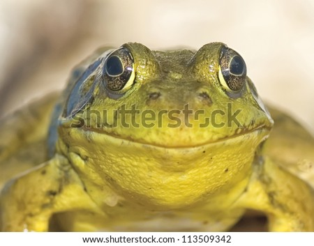 Smiling bullfrog - stock photo