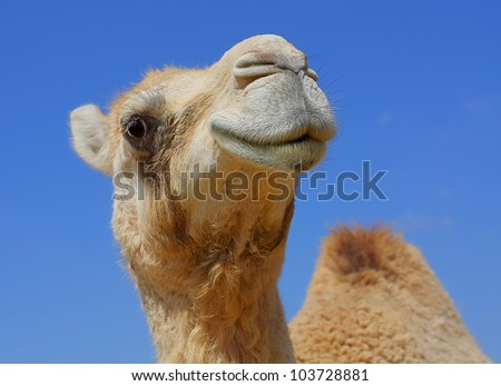 smiling camel looking in lens