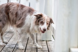 Smiling charming adorable sable red merle and white border collie  outdoors portrait on spring time on a white wooden terrace. Most clever dogs breed in the world - herding funny border collie
