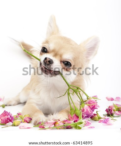 Smiling Chihuahua puppy giving pink roses on white  background