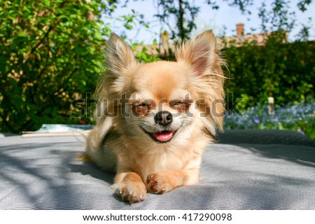 Smiling chihuahua sitting outside in the sunshine