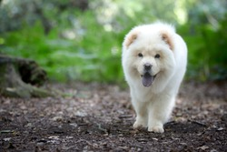 Smiling Chow puppy walking in forest toward camera.