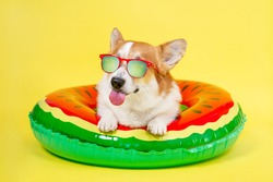 Smiling corgi  dog in red sunglasses with polarizing lenses lies in inflated life buoy for swimming shows tongue and teases on yellow background, front view, copy space for juicy advertising text