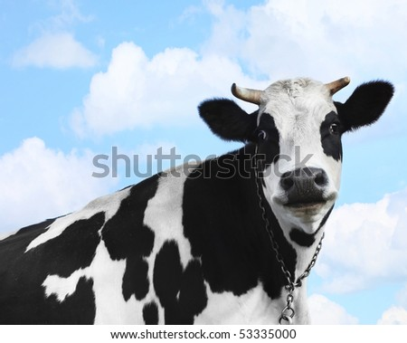 Smiling cow over blue sky background