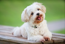 smiling cute white dog sit on bench in garden