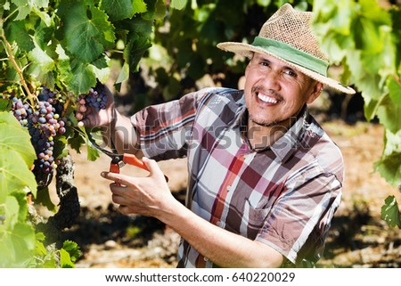Smiling diligent mature man working on collecting ripe grapes on winery yard  #640220029