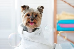 Smiling dog after bath showing tongue