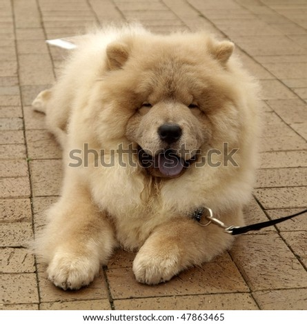 Chow Chow Puppies on Smiling Dog Chow Chow Stock Photo 47863465   Shutterstock