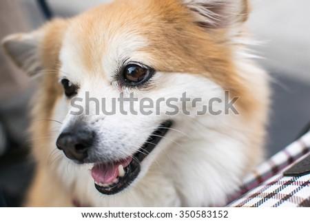 Smiling dog. Welsh Corgi. Portrait.