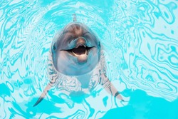 Smiling dolphin swimming in dolphinarium pool