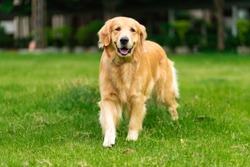 Smiling Face Cute Lovely Adorable Golden Retriever Dog Walking in Fresh Green Grass Lawn in the Park