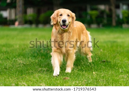 Smiling Face Cute Lovely Adorable Golden Retriever Dog Walking in Fresh Green Grass Lawn in the Park  Photo stock ©