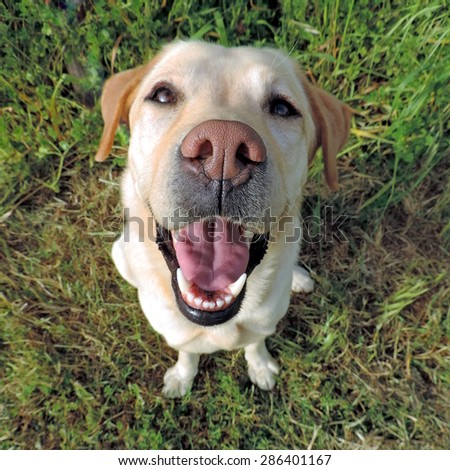 Smiling golden labrador retriever from a top view on a grass background. Sits and looking at camera.