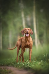 Smiling hungarian vizsla standing on a path against the background of a birch grove