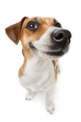 Smiling Jack Russel terrier dog. Pleased dog with big nose on white background. Studio shot.