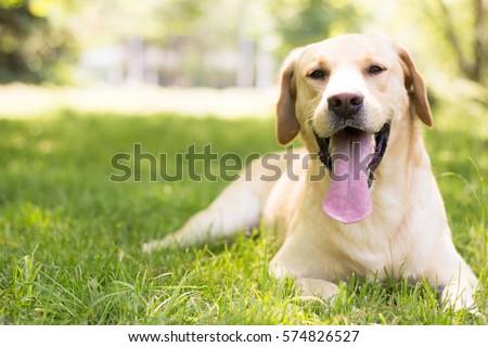 Smiling labrador dog