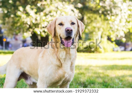 Smiling labrador dog in the city park portrait. Smiling and looking up, looking away Zdjęcia stock ©
