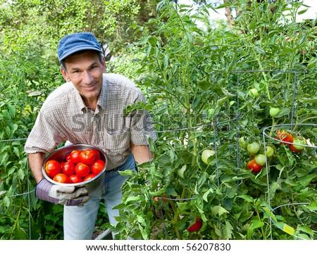 Smiling man picking tomatoes in his garden.