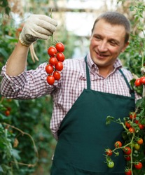 Smiling man professional gardener picking tomatoes in sunny greenhouse..