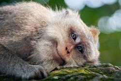 Smiling monkey portrait