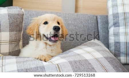Smiling puppy on a couch with pillows