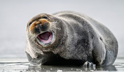 Smiling seal. Seal with open mouth. Closeup, front view. The bearded seal, also called the square flipper seal. Scientific name: Erignathus barbatus. White sea, Russia