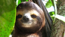 Smiling Sloth Close to the beach, Costa Rica