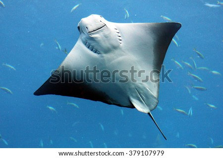 Smiling stingray
