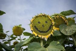 Smiling Sunflower :-)