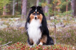 Smiling, sweet, cute, smart sable white shetland sheepdog, sheltie sitting in a forest in field of moss and lingonberry, foxberry, cowberry. Little collie, lassies dog with happy face in autumn forest