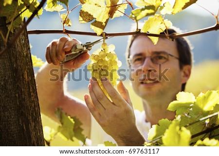 Smiling vintner harvesting a bunch of green grapes in vineyard, focus on grapes.