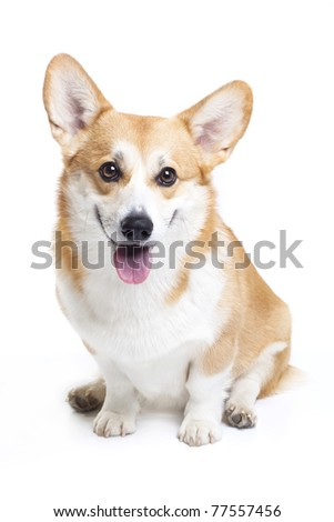 Smiling welsh corgi pembroke on white