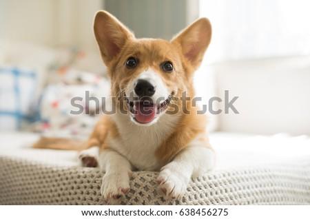 Shutterstock Smiling welsh corgi puppy