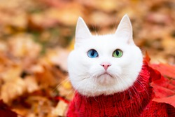 Smiling white cat, multi-colored eyes, Angora breed. Sits in the foliage in the park on an autumn day. Animal in a sweater on the street. The pet plays in red and yellow maple.