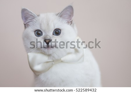 Smiling white kitten with a white bow. British silver shaded cat with blue eyes.