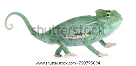 Smiling Young veiled chameleon, Chamaeleo calyptratus, in front of white background