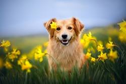 Smilling dog is sitting between yellow flowers with a flower on his head. Dog in springtime.