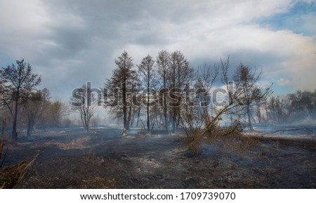 Smoke rising from a burned forest. Forest Fire. Development of forest fire. Flame is starting damage of trunk. Severe burn Fire destroyed everything Left only scorched trees and ashes.  Chernobyl. stock photo