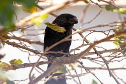 Smooth-billed Ani of the species Crotophaga ani