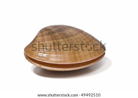 Smooth clam isolated on a white background.