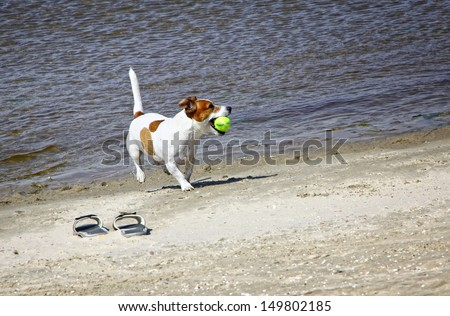 Smooth coated Jack Russell Terrier dog running on the beach