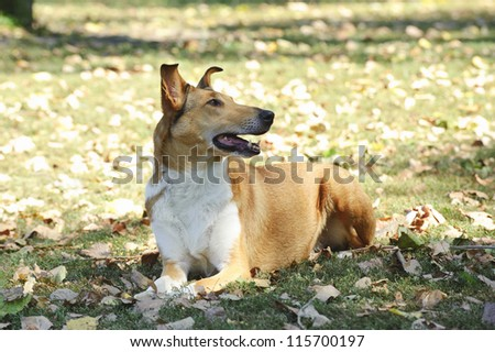 Smooth Collie dog in autumn scenery