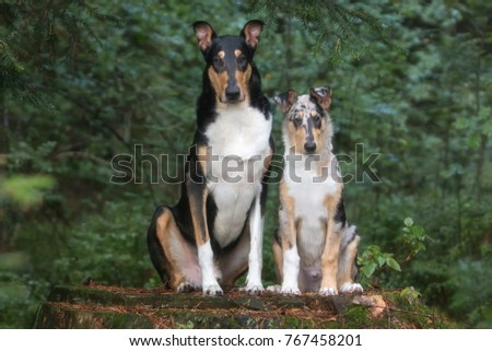 Smooth collies, father and son