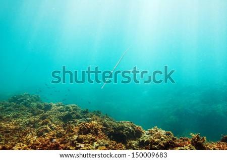 Smooth Cornetfish (Fistularia commersonii) underwater scene sun rays in deep blue sea